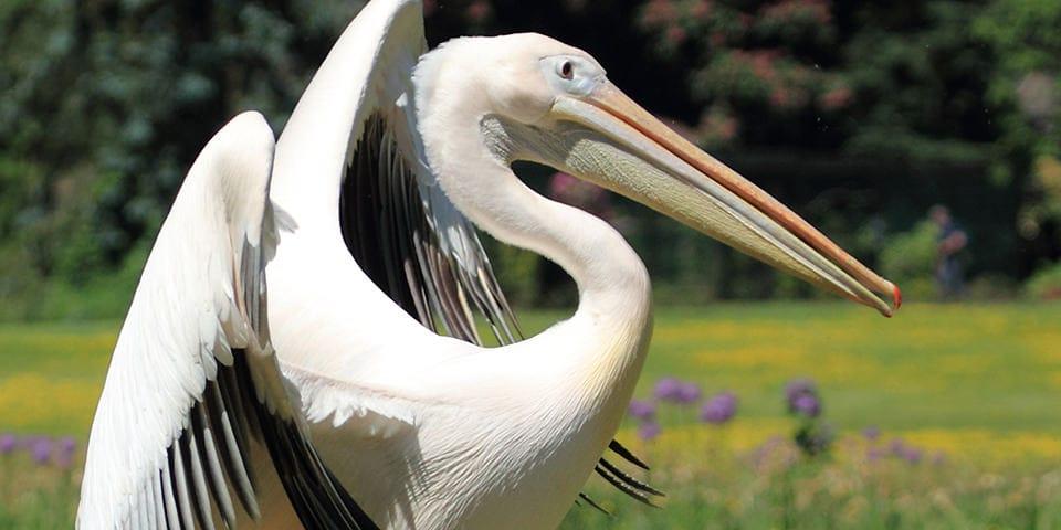 Pelikan i Walsrode fuglepark