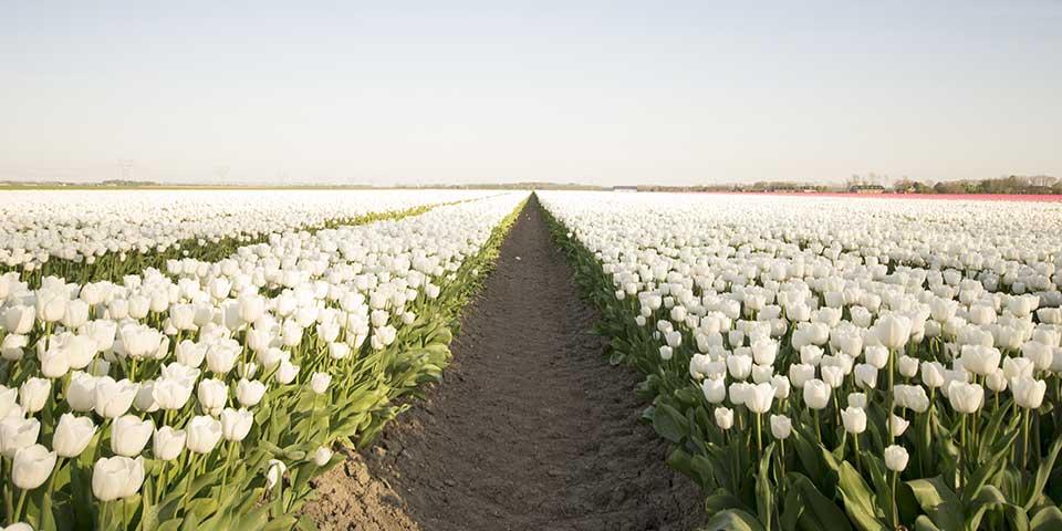 Blomstermark med hvide tulipaner.
