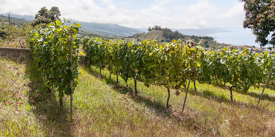 Vinmark  i La Orotava-dalen.