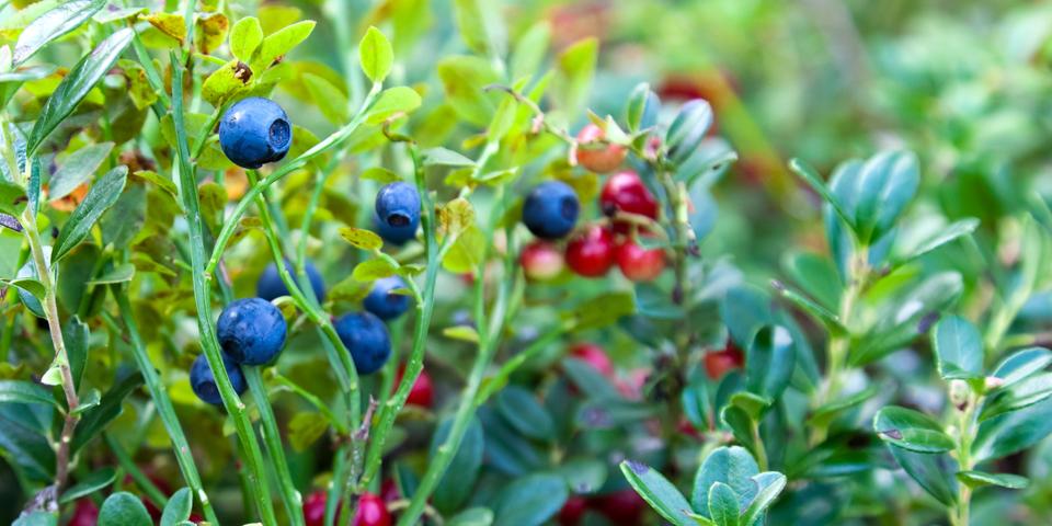 Vilde blåbær på Vrads Sande.