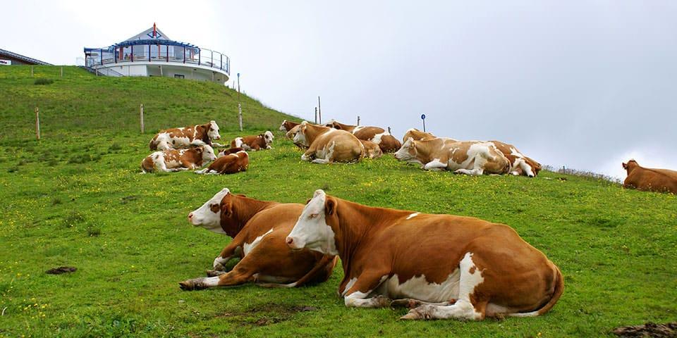 En flok køer slapper af ved Hinterglemm.