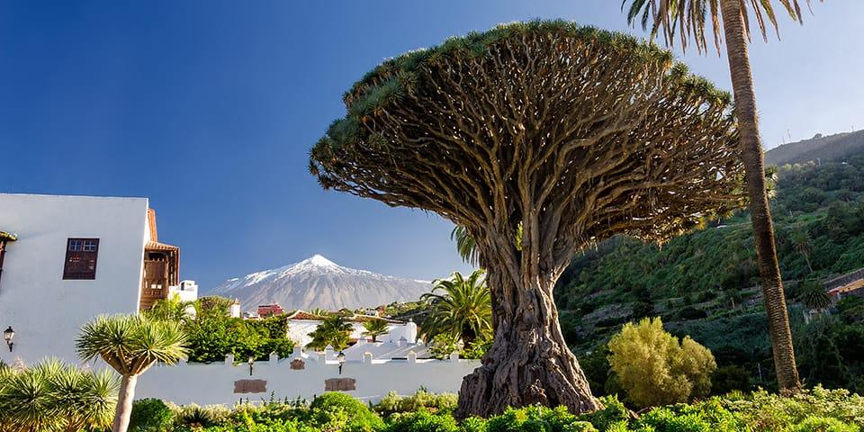 Det ældgamle drageblodstræ i Icod de los Vinos.