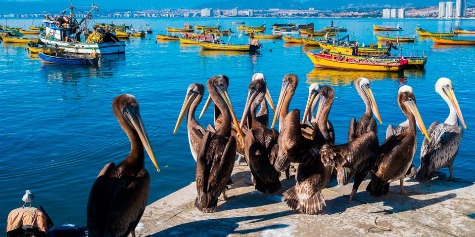 Pelikaner på kajen i Coquimbo.
