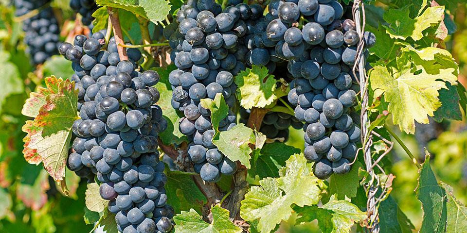 Den velsmagende vin er en af Montenegros bedst bevarede hemmeligheder.