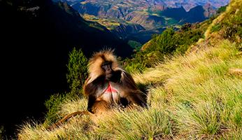 Bavian i Etiopien