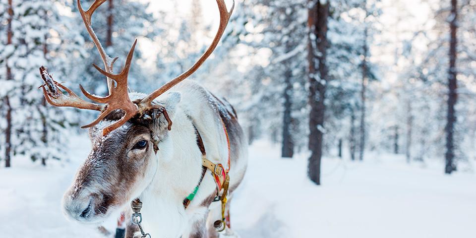 Glæd dig til at stifte bekendtskab med de majestætiske rensdyr i finsk Lapland.