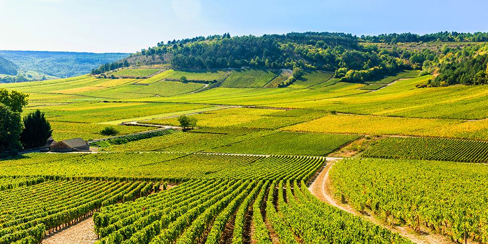Grønne marker så langt øjet rækker i Beaujolais-vinområdet.
