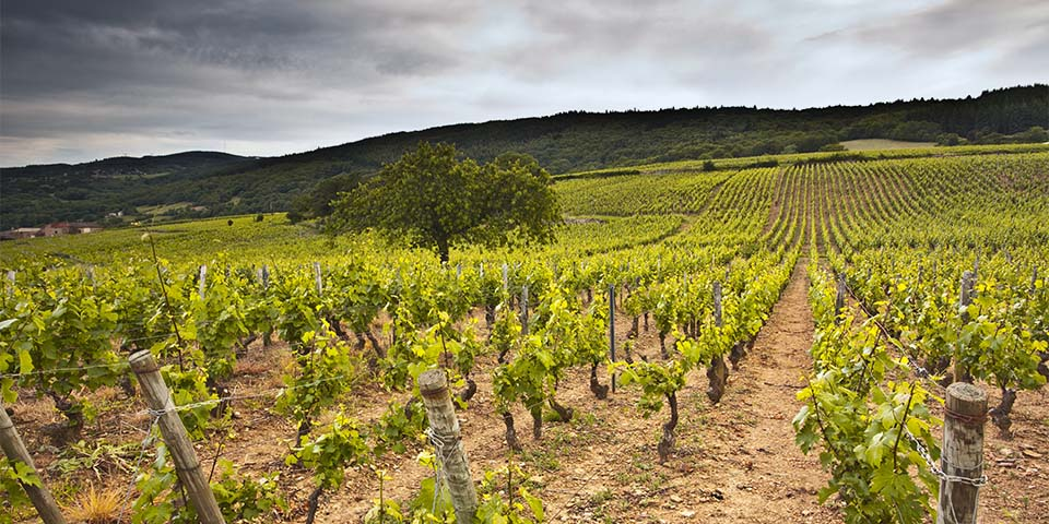 Nogle af de mange vinmarker som hylder Bourgogne ind.