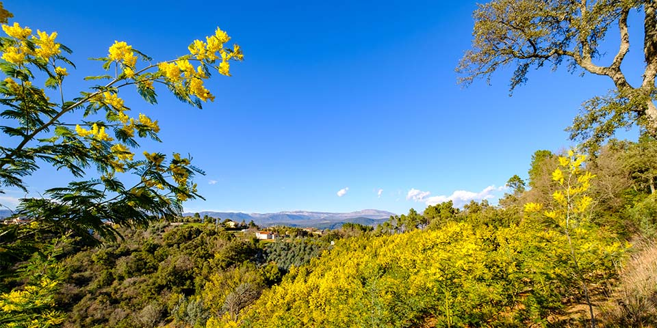 Den gule skov omringer Tanneron.