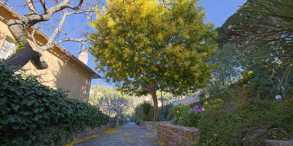 Et af de mange Mimosatræer i Bormes Lies Mimosas.
