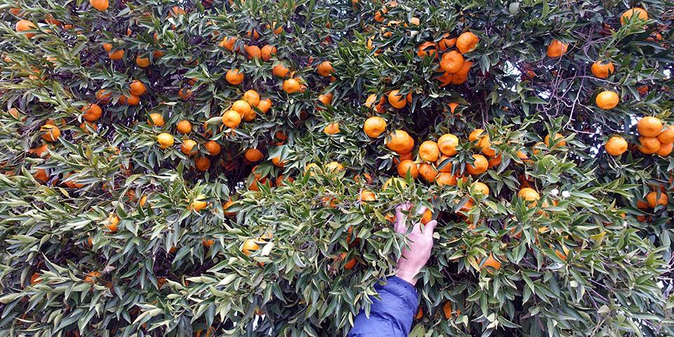 På appelsinrov...