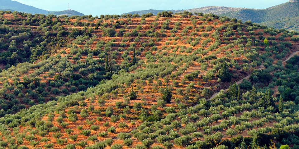 En af de mange bølgende Olivenlunde i Peloponnes.
