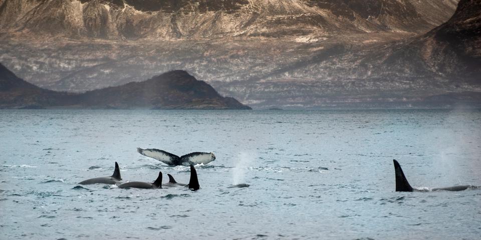 Hvaler i det arktiske hav.