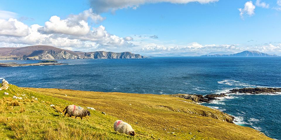 Græsende får på øen Achill.