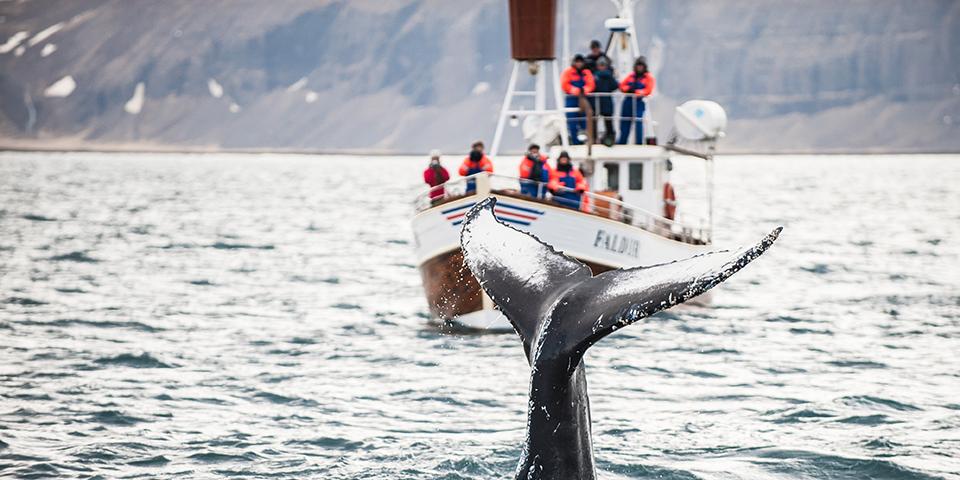En pukkelhval dykker i Eyjafjorden.