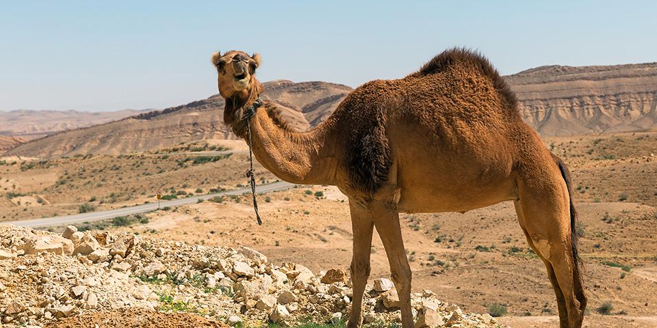Fotogen kamel i Negevørkenen.