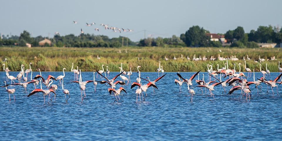 Lyserøde flamingoer i Cervia.