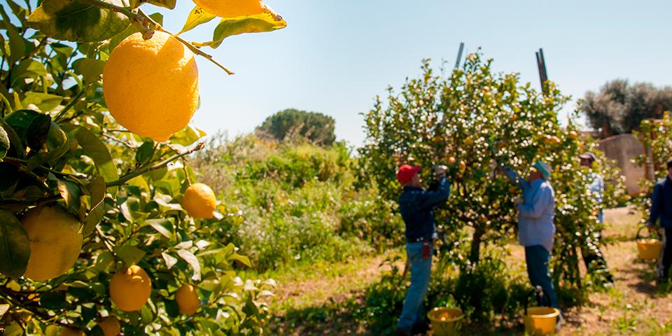 Der dyrkes citrusfrugter i Sorrento.