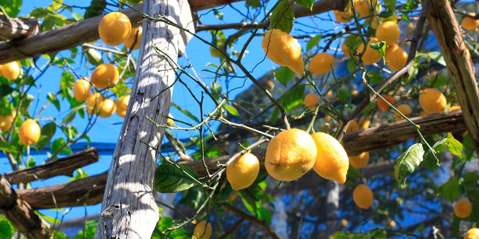Citroner hænger nogle steder over hovederne på os på Citronstien.