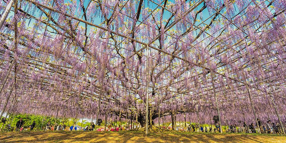 Blomsterparken Ashikaga.