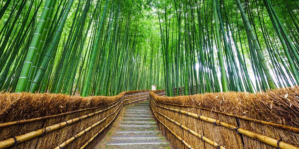 De kæmpe bambus i Arashiyama.