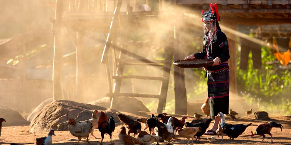 Kvinde fra Hmong stammen fodrer høns.