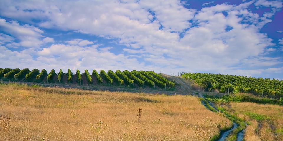 Vinmarker i Makedonien.