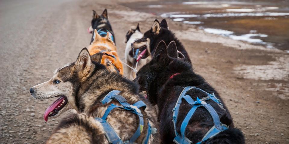 Slædehunde trækker vognen afsted.