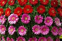 Madeiras blomster