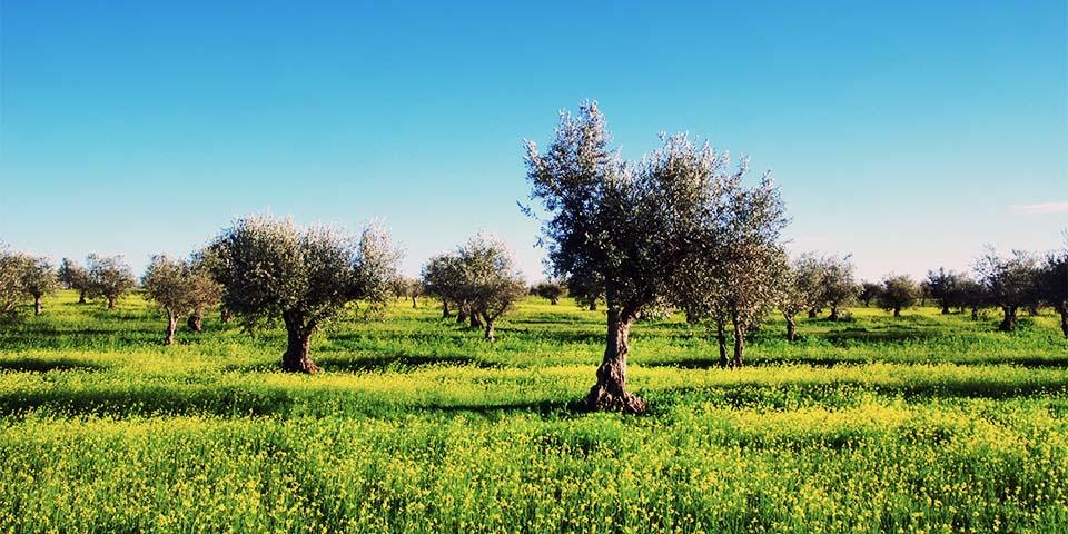 De flotte olivenmarker nær Olhão.