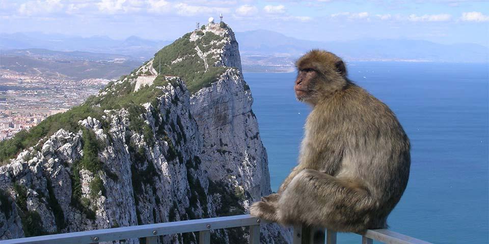 Pas på de frække Gibraltar aber, som elsker at drille og stjæle fra turisterne.
