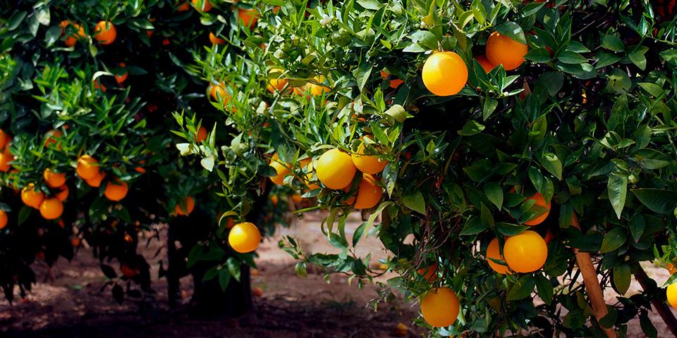 Intet besøg i Sydspanien uden de søde, saftige appelsiner.