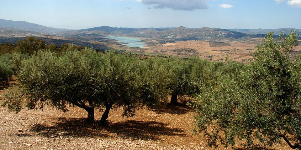 Oliventræer i Axarquia.