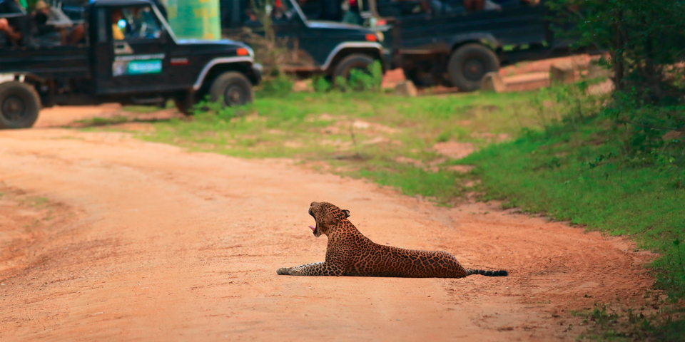 Leopard spottet på safari i Yala Nationalpark.