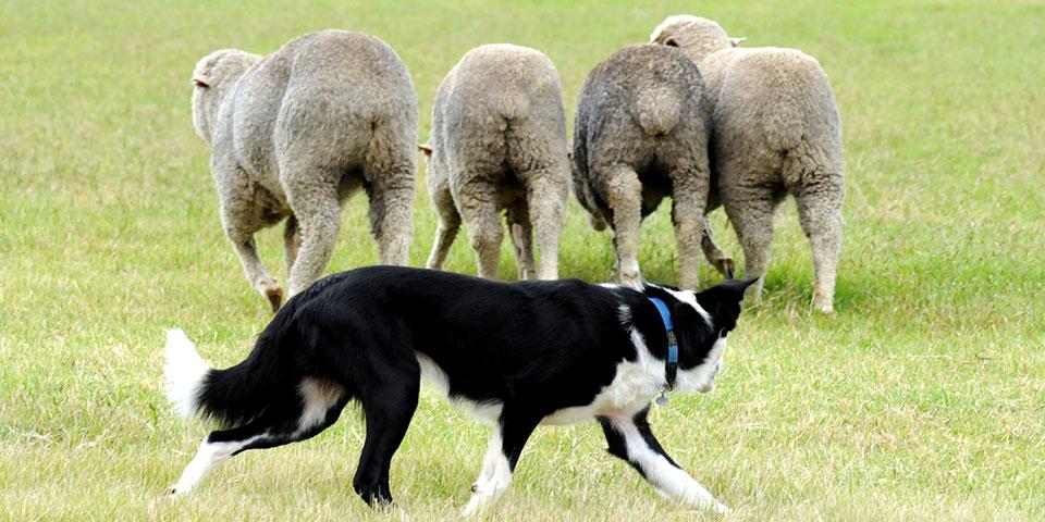 En fårehund har styr på sine får.