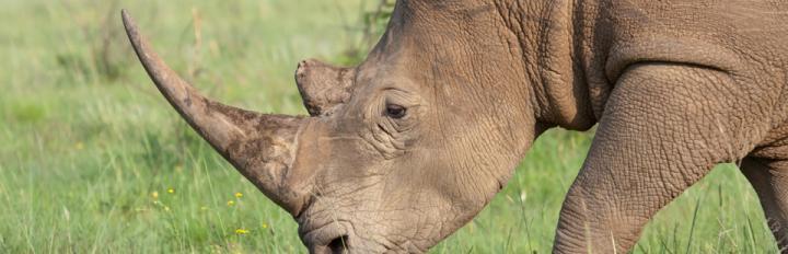 Sydafrika_Pilanesberg_hvidt_næsehorn