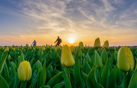 Solnedgang, tulipaner og cyklister.