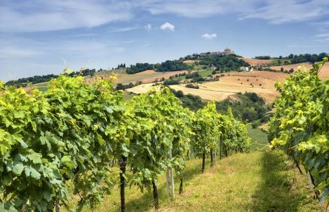 Vinmark i Marche, Italien.