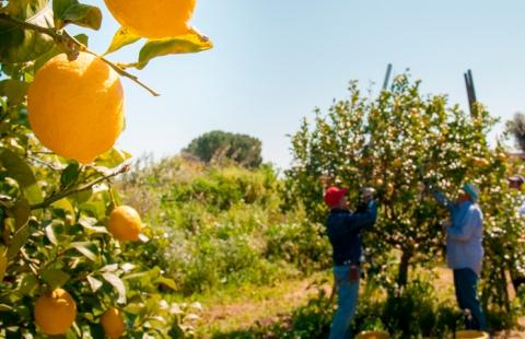 Træerne bliver plukket i citronmark på Sorrentohalvøen.