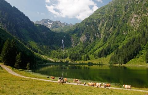 Køer ved en smuk sø i Steiermark.