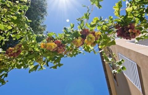 Vinranker i solen på Mallorca.