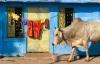 En ko foran et hus i den blå by i Jodhpur.