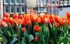 Tulipaner i Amsterdam