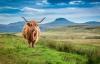 Skotland, højlandskvæg.