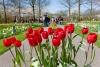 Røde tulipaner i blomsterparken Keukenhof i Holland.