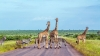 Dyr krydser vejen i Kruger Nationalpark.