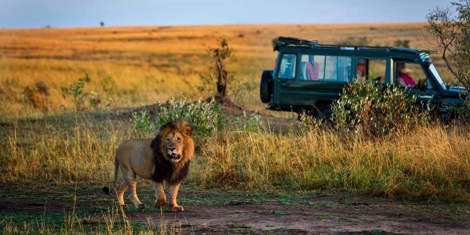 Løve i Kruger National Park.
