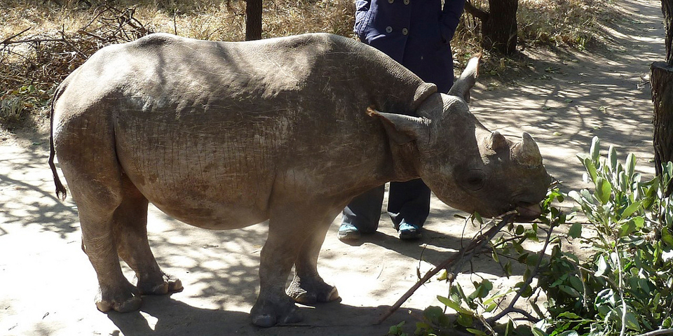 Babynæsehorn i Moholoholo rehabiliteringscenter.