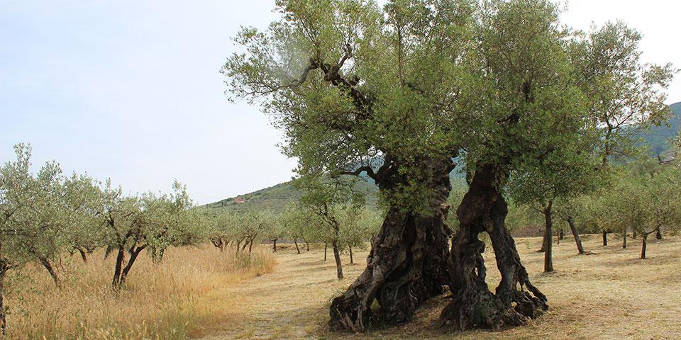 Umbriens ældste oliventræ.