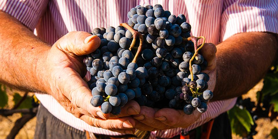 Vinbonde med hænderne fulde af druer.